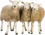 Productcategorie schapenhouderij